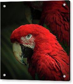 Macaw Portrait Acrylic Print by Joni Eskridge
