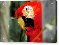 Maccaw 2 Acrylic Print