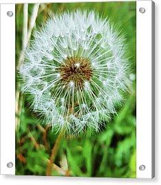 #macro #dandelion #dandelionclock Acrylic Print by Natalie Anne