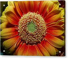 Macro Flower Acrylic Print by Michael Canning