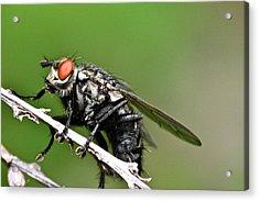 Macro Fly Acrylic Print