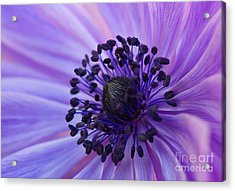 Macro Of Lavender Purple Anemone Acrylic Print