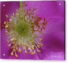 Macro Rosehip Bloom Acrylic Print