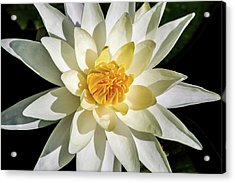 Macro Water Lily Acrylic Print