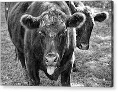 Mad Cow  Acrylic Print