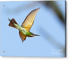 Madagascar Bee Eater In Flight Acrylic Print