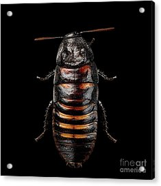 Madagascar Hissing Cockroach Acrylic Print