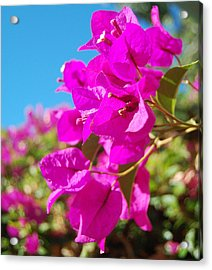 Magenta Bougainvillea Acrylic Print by Jean Booth