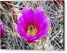 Magenta Cactus Flower Acrylic Print by Jon Rossiter