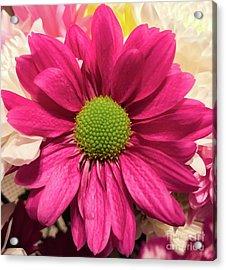 Magenta Chrysanthemum Acrylic Print