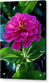 Magenta Acrylic Print by Jame Hayes