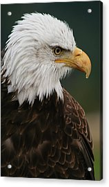 Magestic Eagle Acrylic Print
