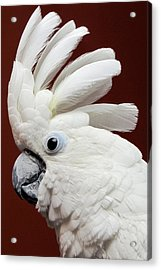 Maggie The Umbrella Cockatoo Acrylic Print