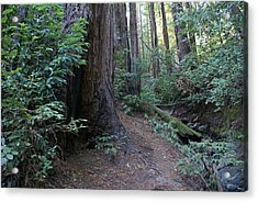 Magical Path Through The Redwoods On Mount Tamalpais Acrylic Print