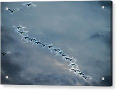 Magical Tundra Swan Fly-over Acrylic Print