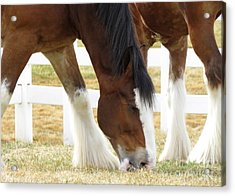 Magnificant Horses - The Clydesdales -18 Acrylic Print by Diane M Dittus