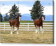 Magnificant Horses - The Clydesdales -19 Acrylic Print by Diane M Dittus