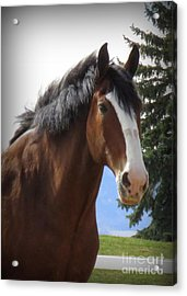 Magnificant Horses - The Clydesdales -3 Acrylic Print