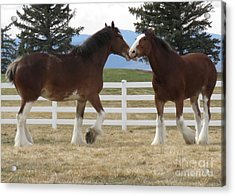 Magnificant Horses - The Clydesdales -6  Acrylic Print