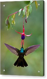 Magnificent Hummingbird Eugenes Fulgens Acrylic Print by Panoramic Images