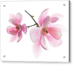 Magnolia Is The Harbinger Of Spring. Acrylic Print
