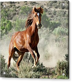 Magnificent Mustang Wildness Acrylic Print