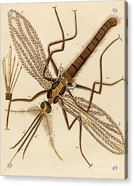 Magnified Mosquito Acrylic Print by German School