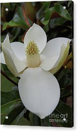 Magnolia Blossom 6 Acrylic Print