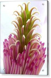 Magnolia Blossom Acrylic Print by Jeremy Wolff