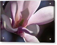 Magnolia Blossom - Acrylic Print