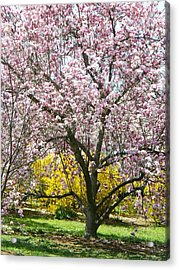 Acrylic Print featuring the photograph Magnolia Blossoms Galore by Emmy Marie Vickers