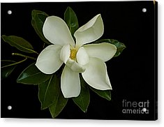 Acrylic Print featuring the photograph Magnolia Flower by Nicola Fiscarelli
