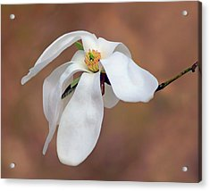 Acrylic Print featuring the photograph Magnolia Grace by Nikolyn McDonald