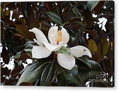 Magnolia Grandiflora With Leaves Acrylic Print