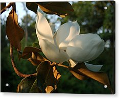Magnolia Acrylic Print by Heather S Huston