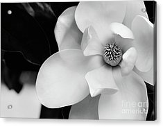 Magnolia In Black And White  Acrylic Print by Stephanie Frey