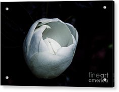 Magnolia In The Spotlight Acrylic Print