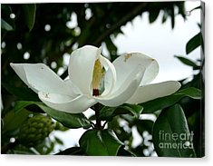 Acrylic Print featuring the photograph Magnolia by John Black