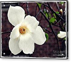 Magnolia Memories 2 Acrylic Print by Sarah Loft