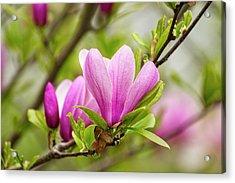 Magnolia Acrylic Print by Karol Livote