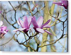 Acrylic Print featuring the photograph Magnolia Serene Flowers by Tim Gainey
