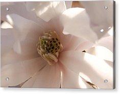 Magnolia Stellata II Acrylic Print
