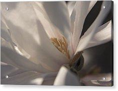 Magnolia Stellata IIi Acrylic Print