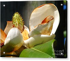 Magnolia Sunburn Acrylic Print by Greg Patzer