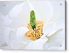 Magnolia Acrylic Print by Tania Kay