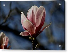 Magnolia Tree Bloom Acrylic Print by Martin Morehead