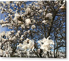 Acrylic Print featuring the photograph Magnolia Tree In Blossom by Patricia Hofmeester