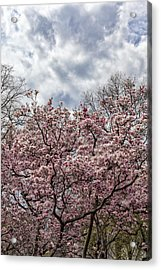 Magnolia Trees And Clouds Acrylic Print
