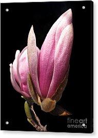 Magnolia Tulip Tree Blossom Acrylic Print by Arlene Carmel