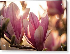 Magnolias At Sunset Acrylic Print